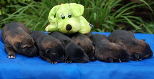 ConniwandIrmusPuppies013c
