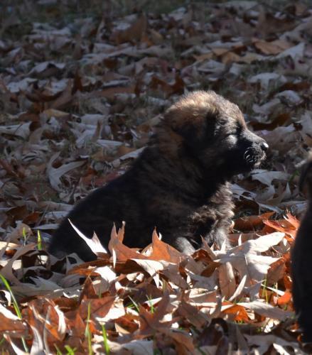 Tala pups 4.5 weeks 003