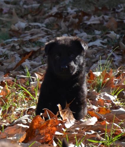 Tala pups 4.5 weeks 003 - Copy