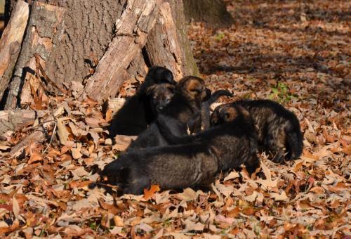 Tala pups 4.5 weeks 016