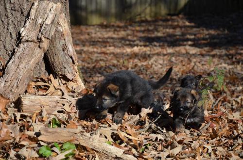 Tala pups 4.5 weeks 028