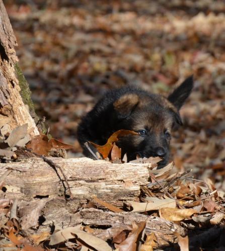 Tala pups 4.5 weeks 029