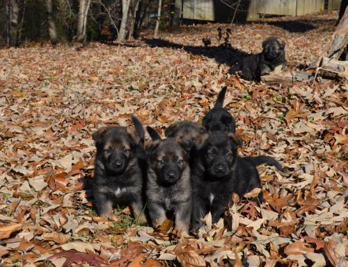 Tala pups 4.5 weeks 034