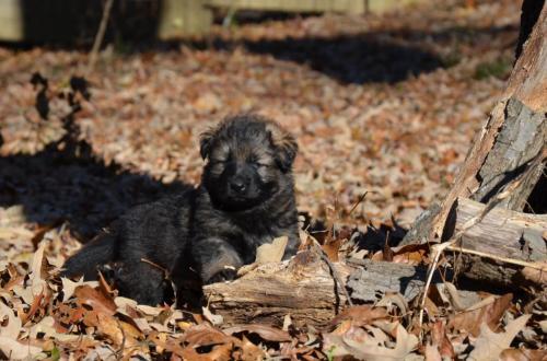 Tala pups 4.5 weeks 036