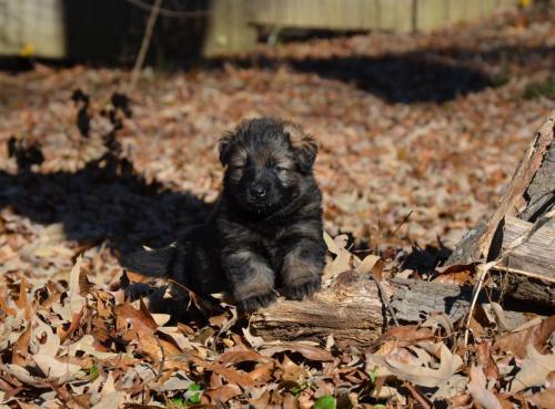 Tala pups 4.5 weeks 039