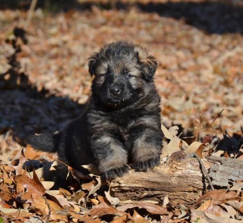 Tala pups 4.5 weeks 040
