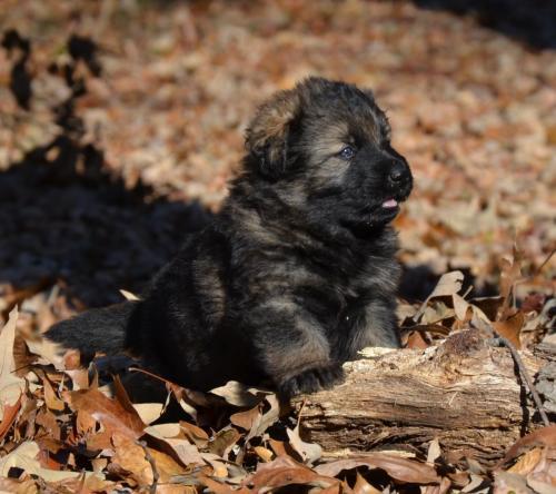 Tala pups 4.5 weeks 041