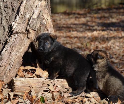 Tala pups 4.5 weeks 043