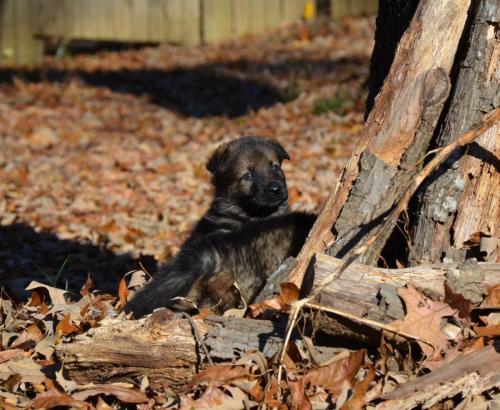 Tala pups 4.5 weeks 048