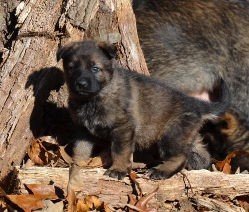 Tala pups 4.5 weeks 051