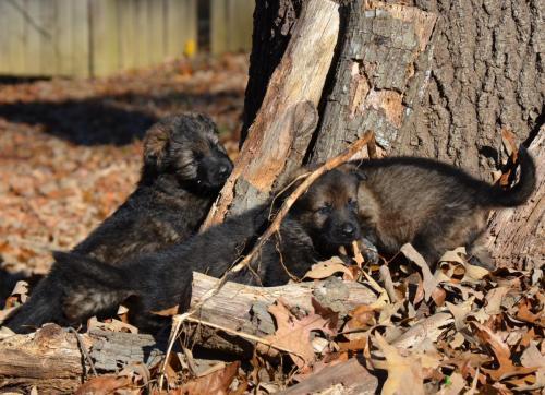Tala pups 4.5 weeks 054