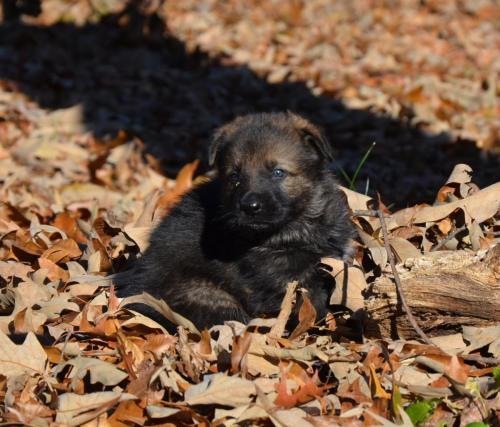 Tala pups 4.5 weeks 061