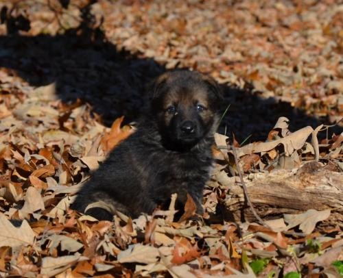Tala pups 4.5 weeks 063