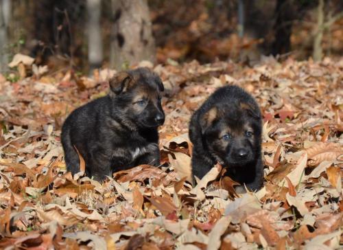 Tala pups 4.5 weeks 066