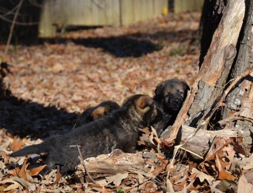 Tala pups 4.5 weeks 068