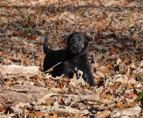 Tala pups 4.5 weeks 074