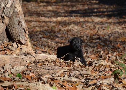 Tala pups 4.5 weeks 076