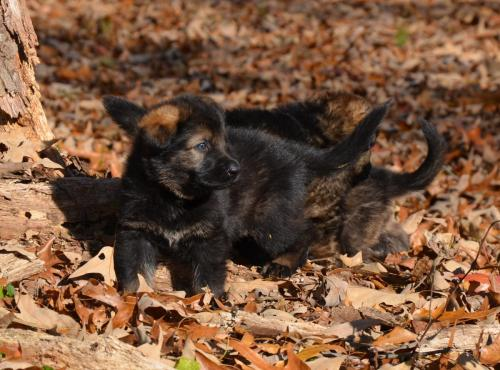 Tala pups 4.5 weeks 089
