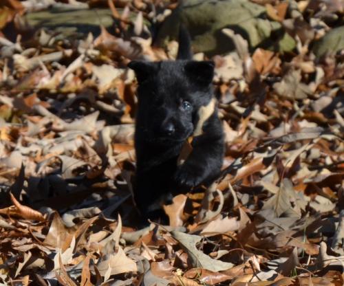 Tala pups 4.5 weeks 102