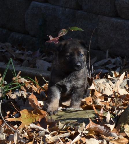 Tala pups 4.5 weeks 107