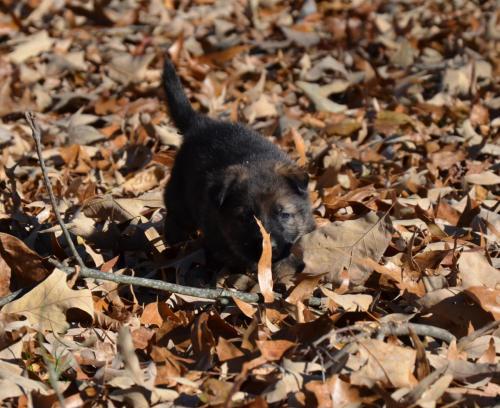 Tala pups 4.5 weeks 109