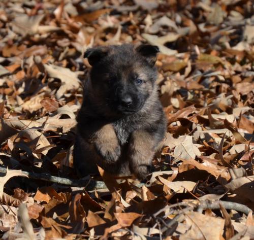 Tala pups 4.5 weeks 110